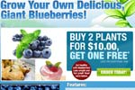 Blueberry Giant – Buy 2 Get 1 Free Thumbnail
